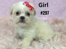 Maltese/Tibetan X - Female Puppy - $1395