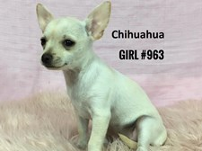 Chihuahua - Female Puppy - $1995