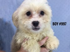 Maltese X Shih Tzu - Male Puppy - $1995