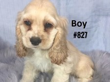 American Cocker Spaniel - Male Puppy - $2395