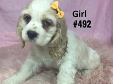 American Cocker Spaniel - Female Puppy - $2395