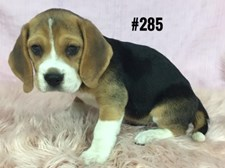 Beagle - Female Puppy - $1995