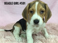 Beagle - Female Puppy - $2295