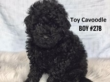 Toy Cavoodle - Male Puppy - $2595