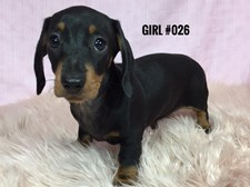 Mini Dachshund - Black/Tan Girl $2795