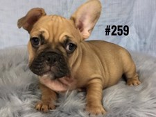 French Bulldog - Boy. Chocolate/Fawn - $3595 .