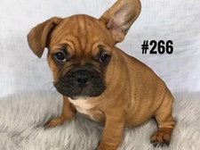 French Bulldog - Male Puppy - Red/Fawn - $3595