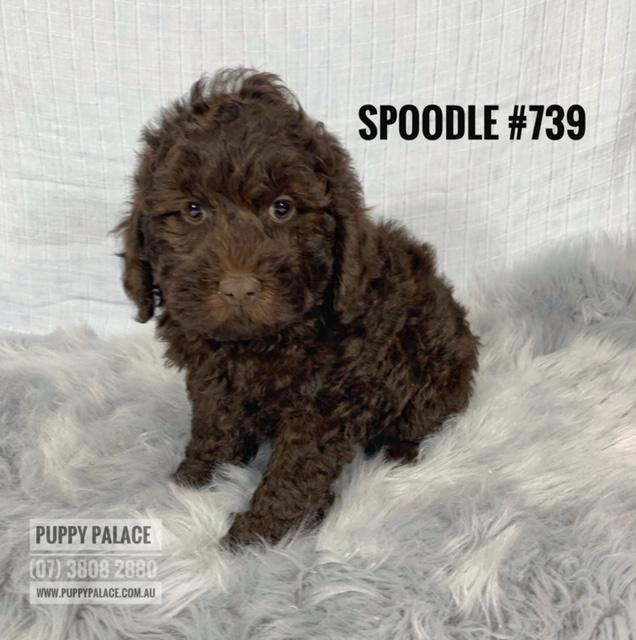Toy Spoodle (English Cocker Spaniel X Toy Poodle) - Chocolate Boy