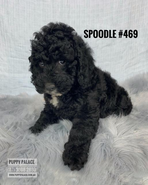 Toy Spoodle (English Cocker Spaniel X Toy Poodle) - Black Boy