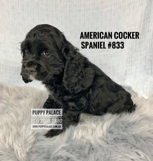 American Cocker Spaniel - Male Puppy