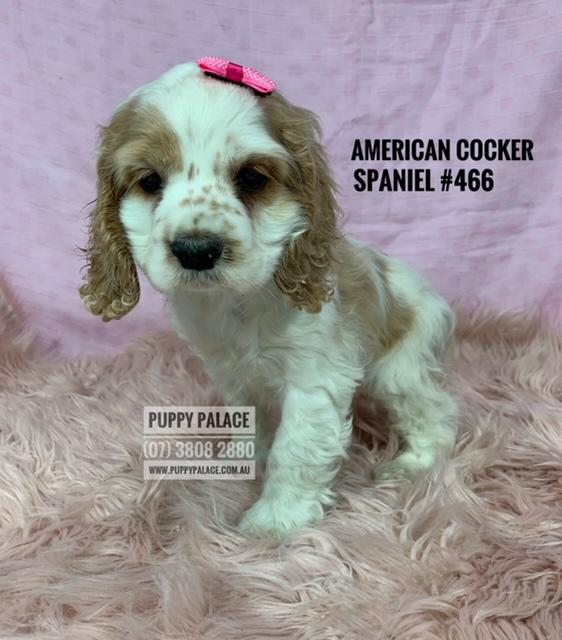 American Cocker Spaniel - Female Puppy