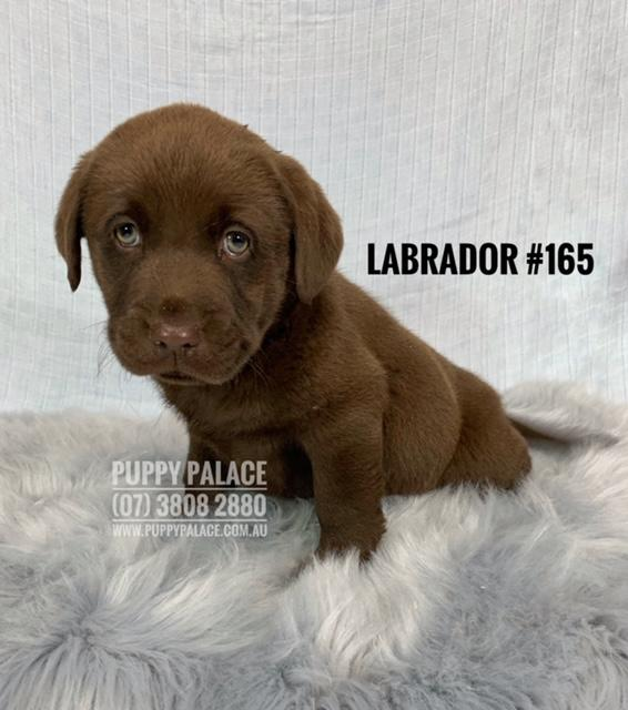 Labrador - Chocolate Boy