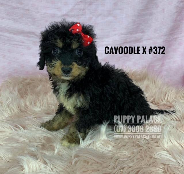 Toy Cavoodle X - Black/Tan girl