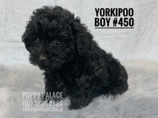 Yorkipoo (Yorkshire Terrier X Toy Poodle) - Boy