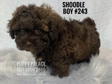 Shoodle (Shih Tzu X Toy Poodle) - Boy