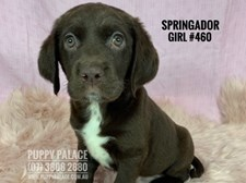Springador (Lab X Springer Spaniel) - Girl